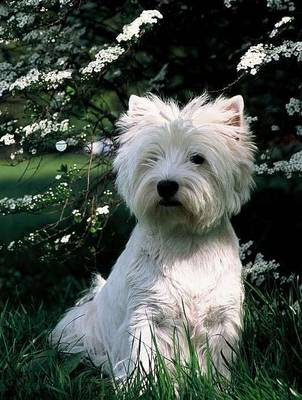 terrier dog breeds. West Highland White Terrier