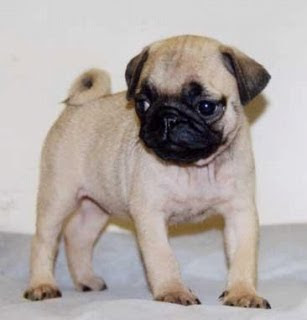 Pug Puppies Photo