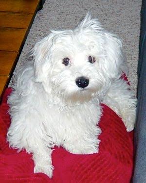 Havanese Popular Dog Breeds