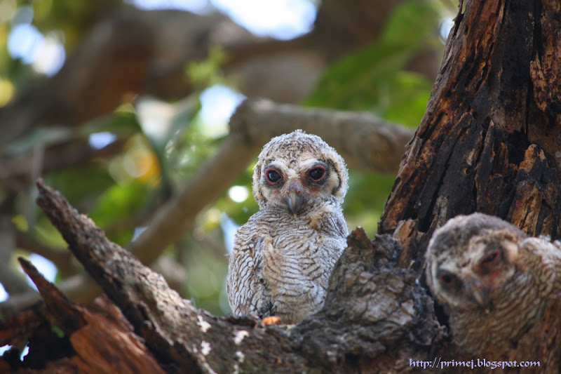Mottled Wood Owlets