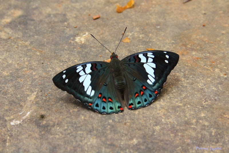 Gaudy Baron Butterfly