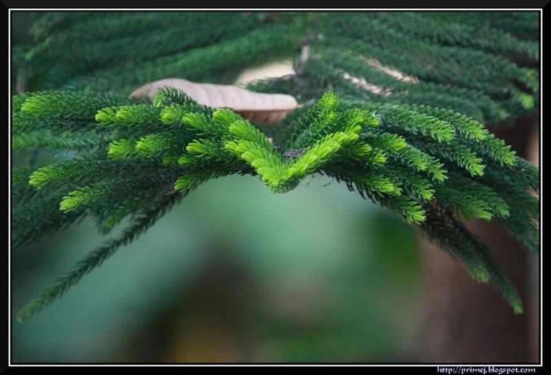 Araucaria branch