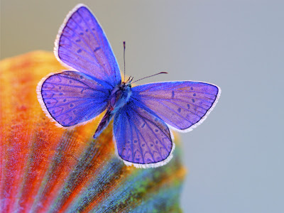 Blue Butterfly Free Wallpaper