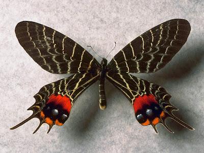 Exotic butterfly desktop background