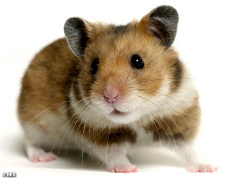 Ter um hamster é muito facil e divertido os hamsters s