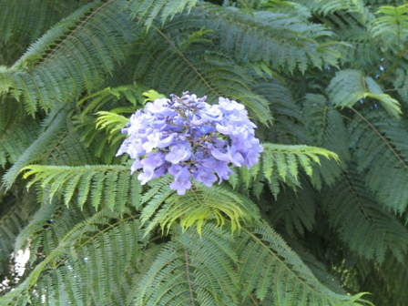 Fleurs,....fruit,.....tout ce qui se mange,...se boit....ou qui vient de la nature.......... - Page 6 Blue+Jacaranda+flower