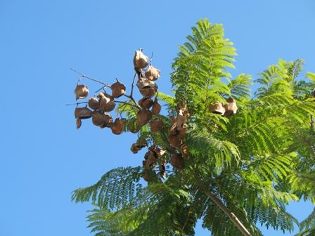 The Worlds Tree Species Blue Jacaranda Jacaranda Mimosifolia