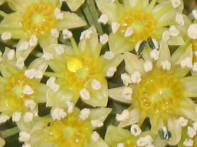 Trevesia palmata Snowflake aralia flower detail