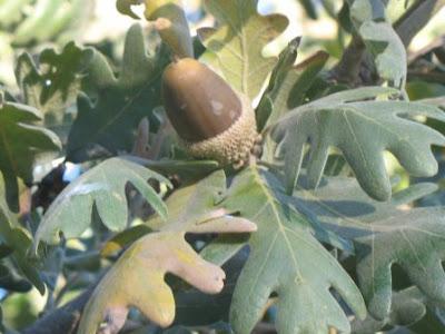 Quercus pyrenaica mature acorn