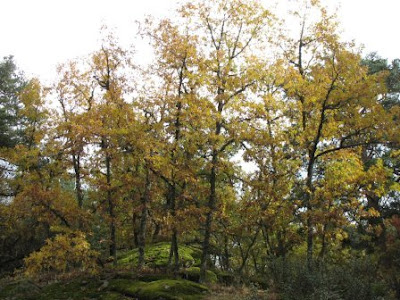 Stand of Quercus pyrenaica trees