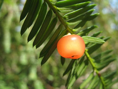 The World´s Tree Species: Pacific yew - Taxus brevifolia
