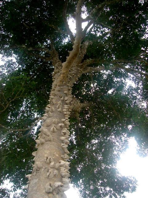 A  Maminha de porca é uma árvore comum no Cerrado e seus espinhos são de madeira bruta e resistentes