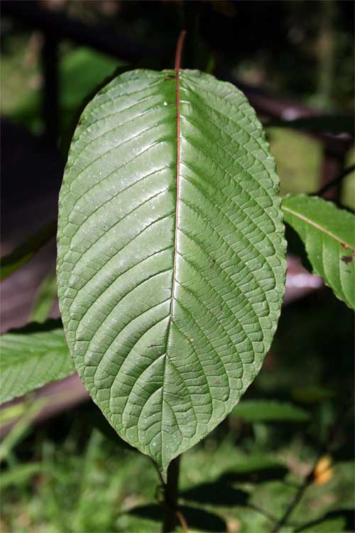 Kratom Extract Wholesale Foristell