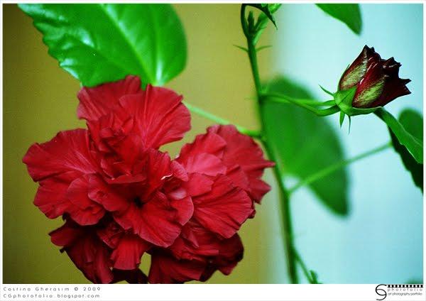Flori  pentru case si gradini  Trandafir_japonez