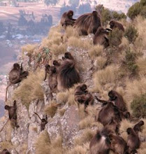 Geladas on mountain cliffs