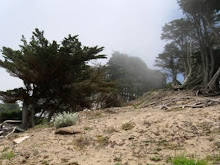 Monterey Pine