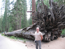 This Sequoia fell centuries ago...