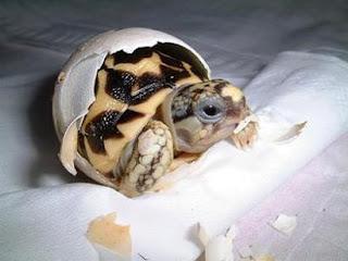 Ovos  de tartaruga NÃO PODEM,  crianças anencéfalas, Pode!