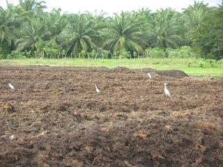 oui l 39 huile de palme certifi e biologique rspo next production de compost sur place. Black Bedroom Furniture Sets. Home Design Ideas