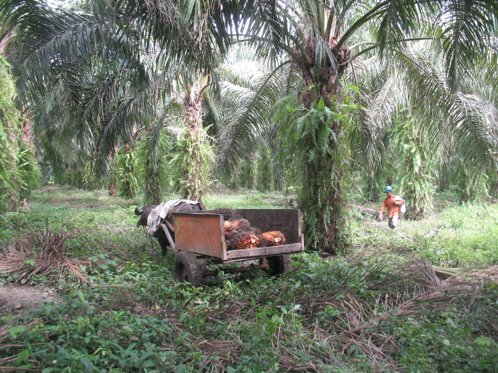 Ramassage des fruits du palmier  huile
