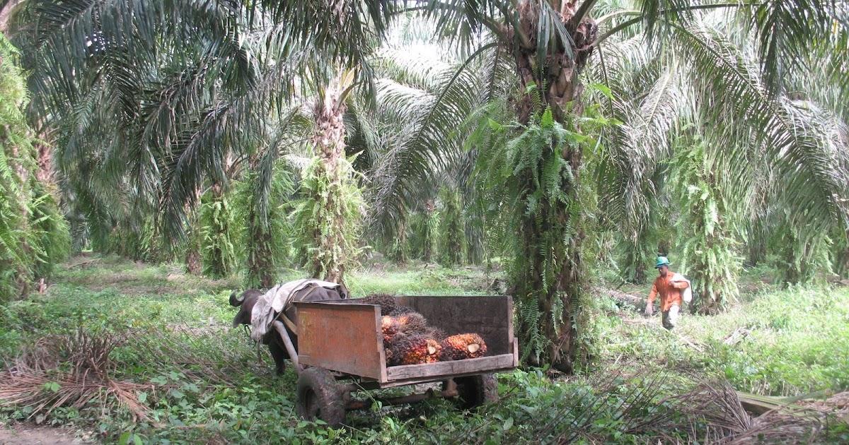 oui l 39 huile de palme certifi e biologique rspo next ramassage des fruits du palmier huile. Black Bedroom Furniture Sets. Home Design Ideas