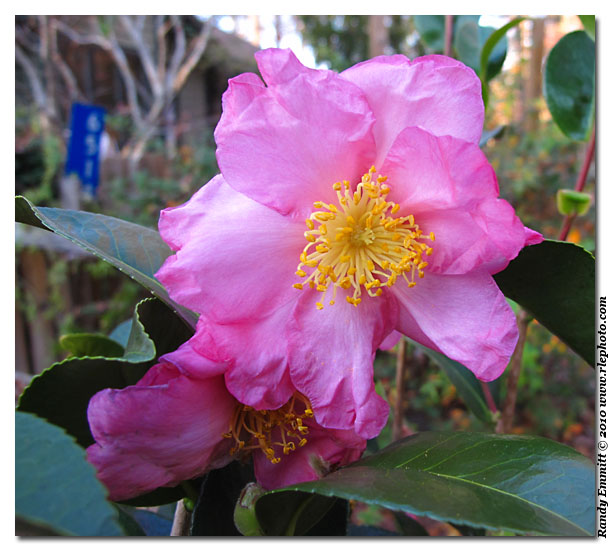 Here Are My Picks Today Ones That Going In Our Garden Above And Below Is Camellia Sasanqua Pink Erfly It Was Introduced By Forest