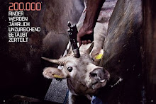 GREENPEACE:  200.000 βόδια ετησίως διαμελίζονται ημιναρκωμένα!!!!