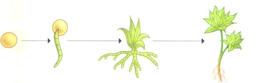 Aprendamos más sobre las plantas...: EL CRECIMIENTO DE LA PLANTA