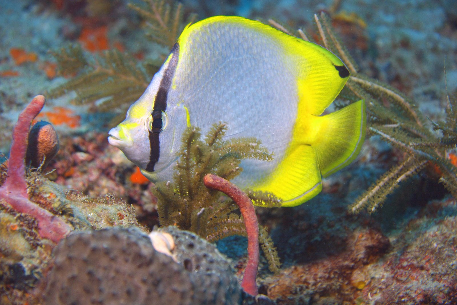LinCreelSpotfinButterflyfish Along with our DRE Brand, we carry products from most medical equipment ...