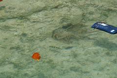Fl Lobster & Flotsam