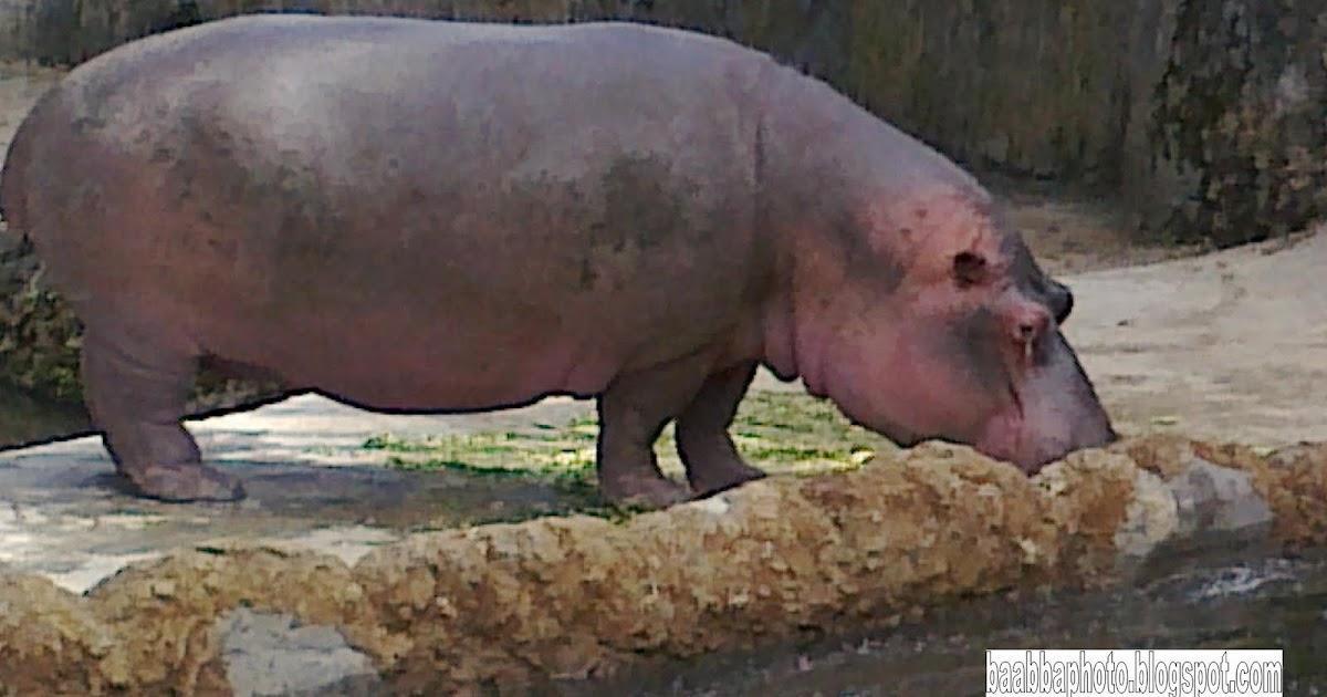 BaabbaPhoto: hippopotamus   kuda Nil