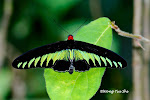 Wild Butterfly and Moth of Borneo