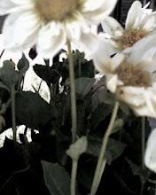 daisy day-photoshop