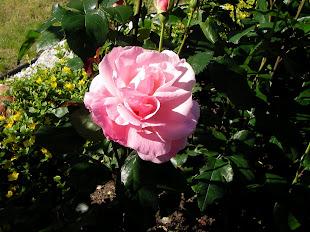 Hanne ruusu
