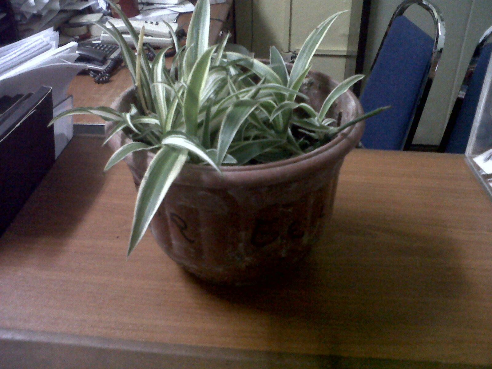 moving potted spider plants outside