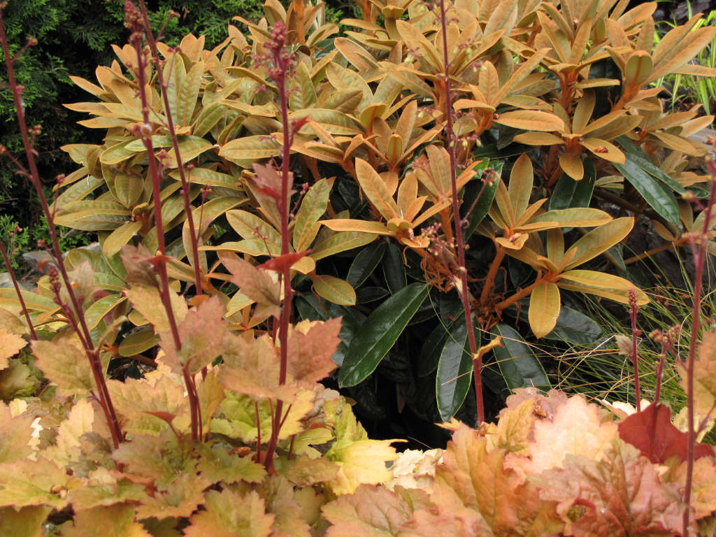 Garden Adventures - for thumbs of all colors: Beyond Rhodies and ...