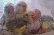 baby lovebird