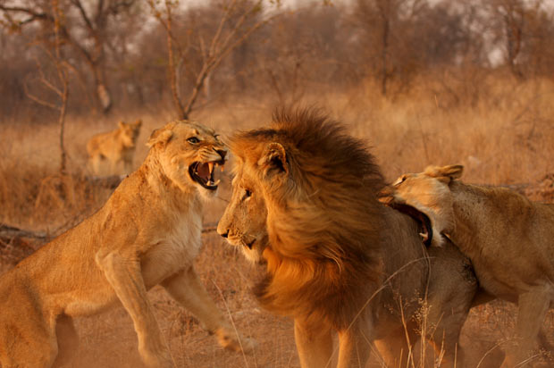 Two lionesses launch an attack on a male lion at Kruger National Park in South Africa