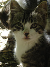 Picasso ~ one of my feral kitties when he was still at the park