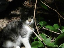 Sage ~  one of my feral kitties when he was still at the park