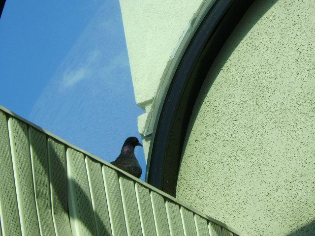 [pigeon]