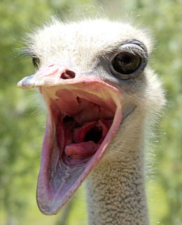 why do ostriches bury their heads in sand
