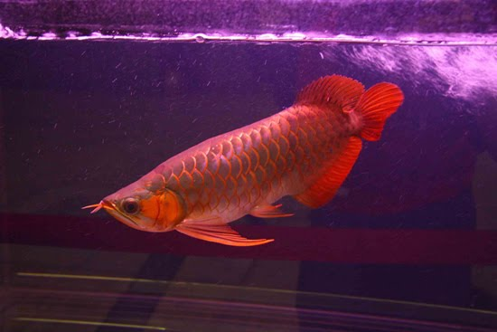 hum tum hum our tum arowana the red dragon fish