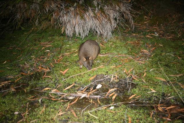 Pademelon Tasmania Australia - © CKoenig