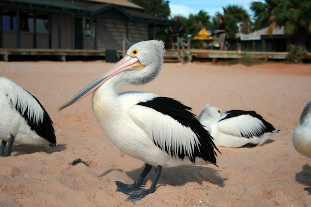 Pelican Monkey Mia Western Australia - © CKoenig