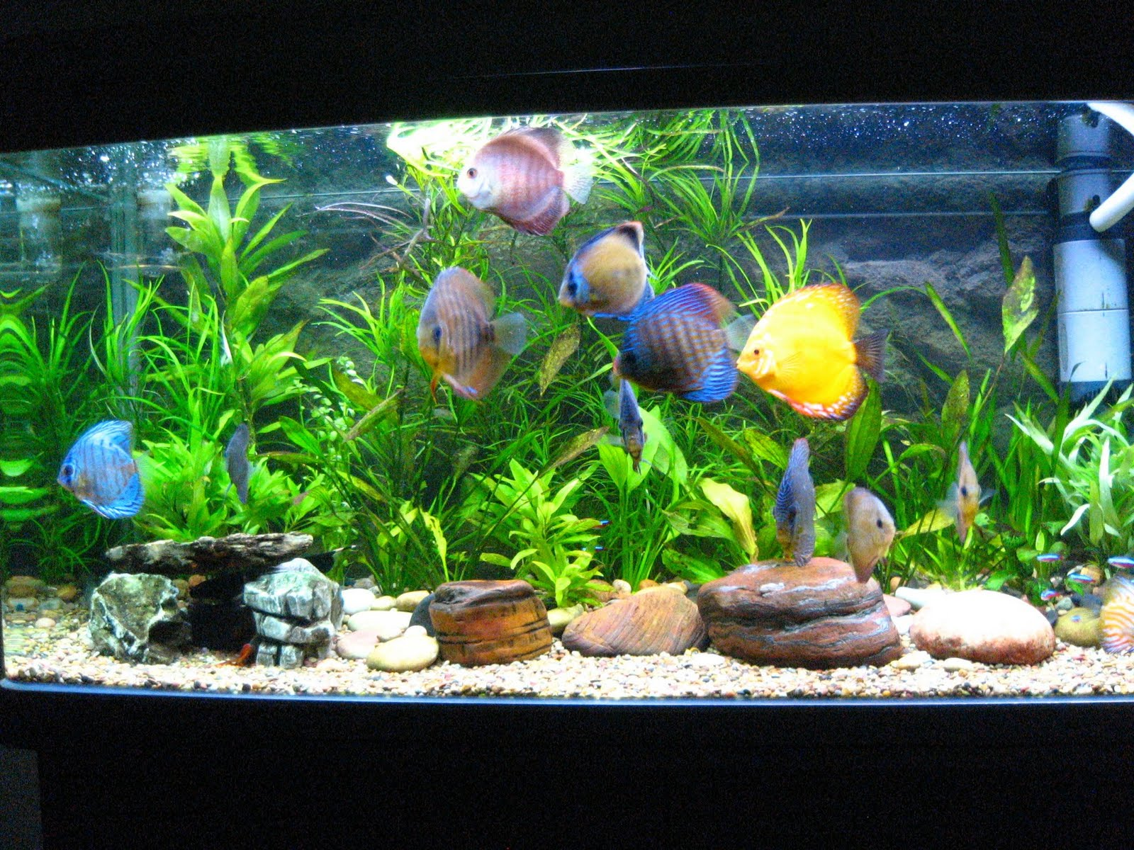 Discus Care Cichlid Lover