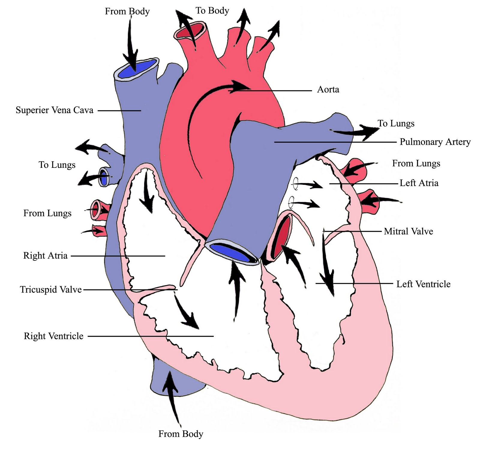 Firefighterparamedic Stories Heart Rhythms Part 1 Basic Heart Anatomy