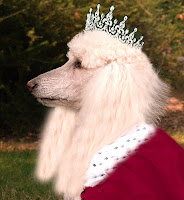poodle dog with crown