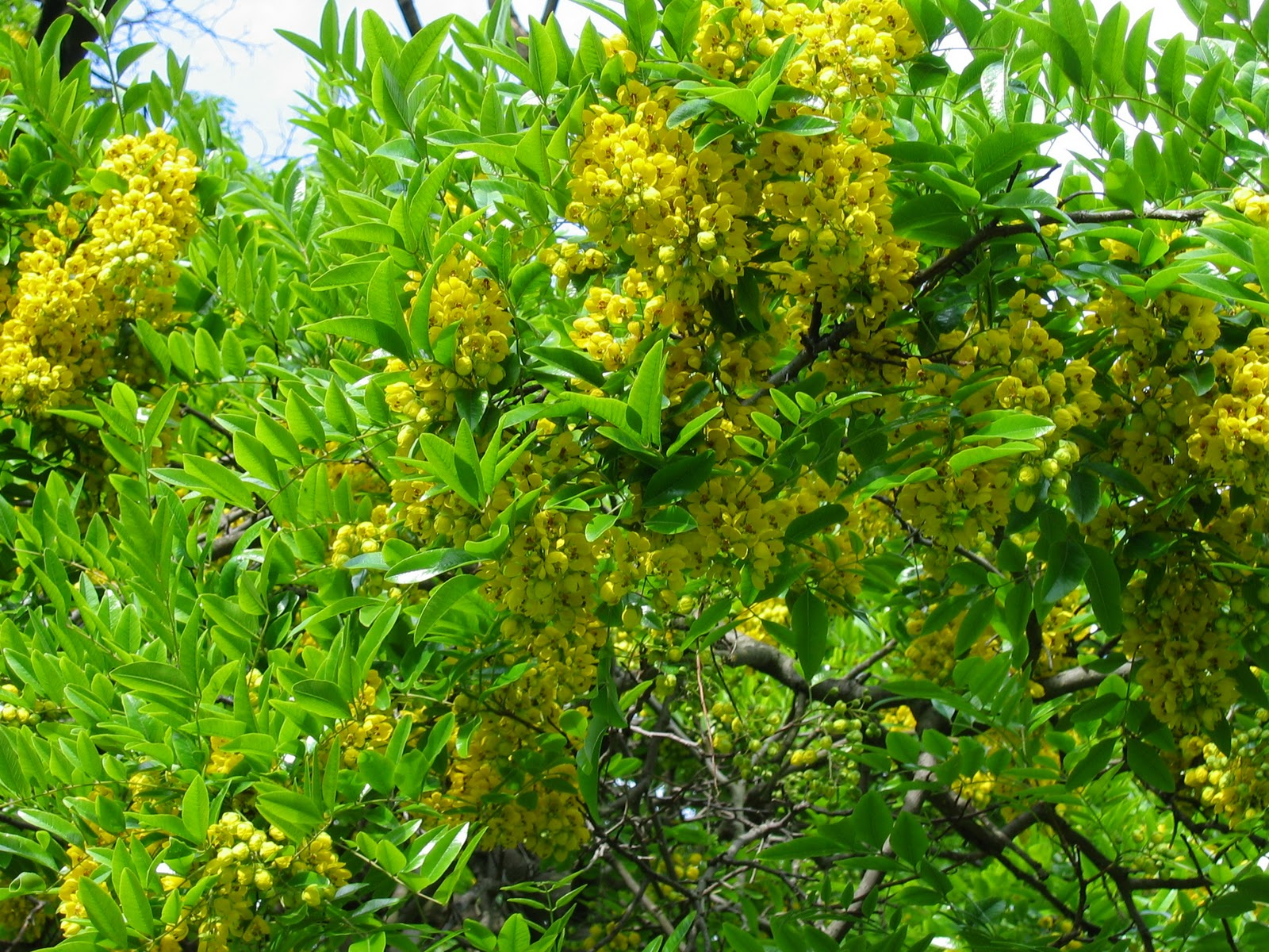 This Beautiful Tree Can Reach 20 M High And When In Flower It S Chock Full Of Rich Yellow Flowers Native Laburnum Or Brush Cia Marksiana