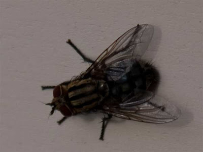 photo of a fly close up